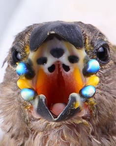 """""""Juvenile gouldian finches have primarily grey/olive plumage, but are equipped with bright blue phosphorescent beads along their mouths, making it easy for the parents to feed them in the darkness of the nest."""" / via @Mike Tucker McCaffrey"""