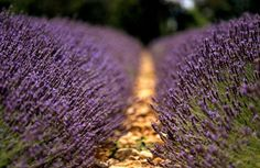 lavendar garden path