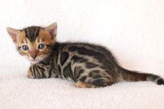 Exotic Bengal Kittens