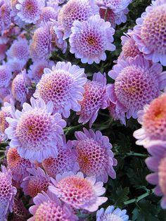 Chrysanthemums, New York Botanical Garden by Kristine Paulus on Flickr.