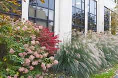 10/14/14 -- We love these color combinations of ornamental grasses and hydrangeas at the side of the Paterno Library. They look even better in the fall and give nice autumn color and texture. http://www.libraries.psu.edu/