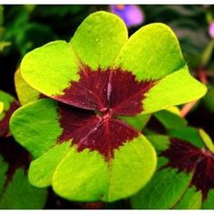 Iron Cross Shamrock Oxalis Plant - Easy grow houseplant - St. Patrick's Day $7.99