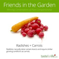 Carrots have another BFF...radishes!