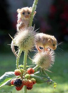 Baby dormice nursed back to health after they were found helpless in nest after mother died.