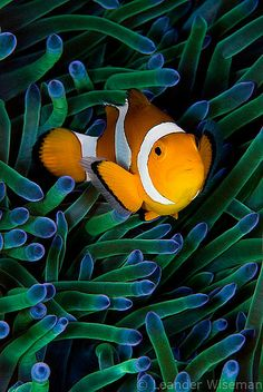 Lovely Clownfish in an anemone.