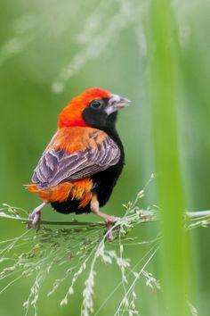 Red Bishop Weaver