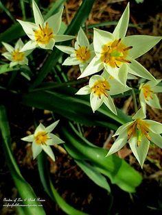 Tulipa Tarda ~ species tulips (Garden of Len & Barb Rosen)