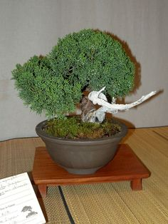 Growing Own Bonsai Tree   The Basics and Planting