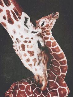 snuggles, mothers, children, baby animals, animal babies, salt lake city, photography, calves, giraffes