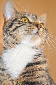 DIY Flea control for cats using lemons