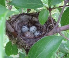 eggs of a Yellow Warbler