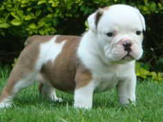 English Bull Dog, Too dang CUTE!