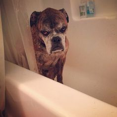 Grumpy Old Boxer in the Bathtub - Dog Gone Funny! ----