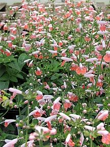 """deer resistant - Salvia Hummingbird Mix  Provides  - masses of small trumpet shaped blooms that hummingbirds love! A random blend of varietal colors including Coral Nymph, Lady in Red, Snow Nymph and Forest Fire. Grows to 12-15"""". Hardy in the South. Annuals."""