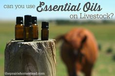 How to use essential oils for the health of your livestock.