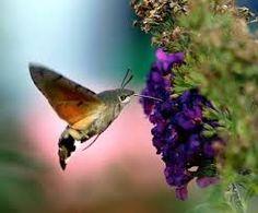 hummingbird hawk moth - Google Search