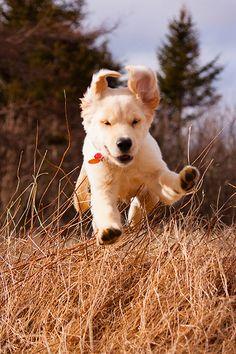 """Look, I'm flying!"" #dogs #pets #GoldenRetrievers #puppies Facebook.com/sodoggonefunny"