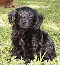 This is a PooChi... a cross between a chihuahua and a poodle. Small and they don't shed... I want one.