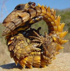 """Armadillo Lizard ~ An interesting species of reptile which lives only in the deserts of southern Africa. It is known by at least four other names. They generally grow up to 9 in. in length. It is a dusky brownish/yellowish species who uses their dusty coloring to blend into their desert home to avoid and hide from predators. ~ Miks' Pics """"Animals lll"""" board @ http://www.pinterest.com/msmgish/animals-lll/"""