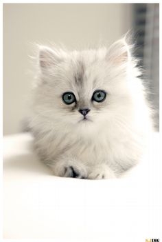 ╰☆ All Things {WHITE} ☆╮ ***Persian Cat by Jing Shen on 500px Cutest Creatures, White Cats, Persian Cats, Kittens, Beauty Persian, Kitty, Jing Shen, Furry Friends, Adorable Animal