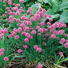 Chives- Improves the flavor of carrots and tomatoes when planted nearby