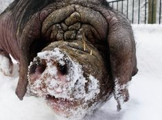 Wil-Brrrrrrr - A Meishan pig digs in the snow at the zoo in Berlin