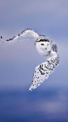 White Owl, Flying, Sky