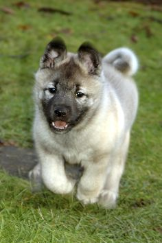 Norwegian Elkhound dog breed infromation, pictures, recognition etc.