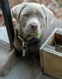 silver lab puppy.