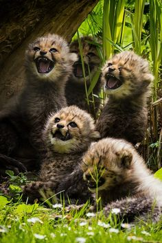 baby cheetahs....so adorable! They look like they're laughing.