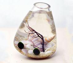 Marimo Aquatic Terrarium (neat Father's Day gift idea)