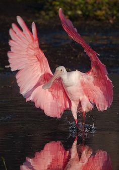 Spoonbill takes flight
