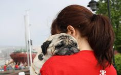 This pug was taken on a charity walk, but didn't make it the whole way.