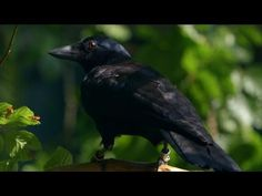 Are crows the ultimate problem solvers? - Inside the Animal Mind: Episode 2 - BBC Two ---- Crows have been known for a while to be extremely intelligent and self aware, so we've begun testing them in recent years.  In this experiment we see a crow not only use tools, but solve an eight step problem involving separated components and abstract reasoning including needing to figure out that gravity will cause a weighted mechanism to dip.