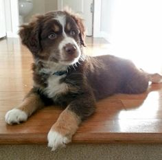 Copper the Australian Shepherd Pictures 961720