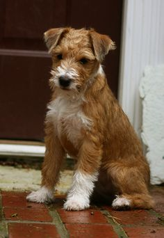 """Banded Mountain Terrier - A newly developing breed  """"This is the dog I want."""