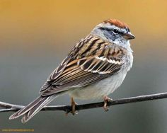 Sparrow - I have an abundance of sparrows at my bird feeders! tree sparrow, hous sparrow, bird feeders