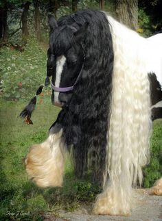 wow a gypsy vanner horse
