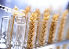 Why 80% of People Worldwide Will Soon Stop Eating Wheat