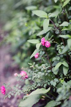Wistfully Country...wild roses