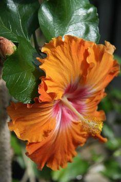 ✯ Hibiscus