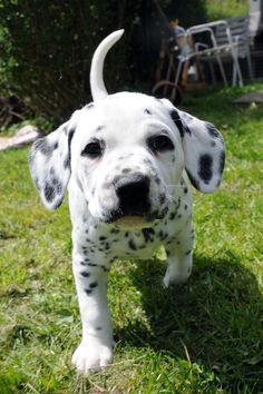 Dalmation puppy! want one nowww