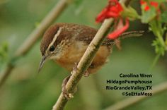 If you hear a call of 'Teakettle-teakettle', it just might be Carolina Wren calling. See more of SeEtta's photos over on our blog.