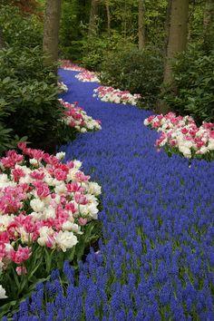 A path of blue flowers, Keukenhof flower garden,Netherlands