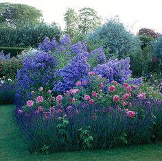 Lavender, roses and campanula lactiflora 'prichard's  variety'