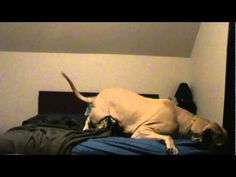 So funny! Our Great Dane does the same thing..... bed hog!!!
