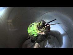 utube snoring hummingbird