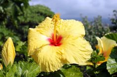 Hopeful Yellow Hibiscus In the Breeze | Hawaii Pictures of the Day