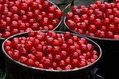 Cherry picking in Door County, WI