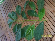 Kidney Cleanse - avocado-leaves